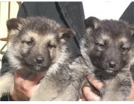 German Shepherd pupps for sale R 1200