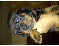 Male & Female Purebred Rottweiler in Dogs & Puppies For Sale Limpopo Warmbaths - South Africa