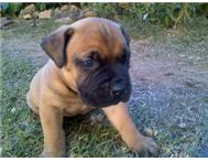 Beautiful Boerboel x Bull Mastiff Pups