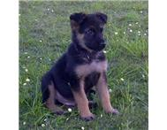 german shepherd pup