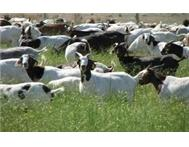 goat meat boer goats ram / sheep for sale