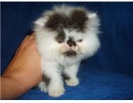 Cute persian kittens ready to go no...