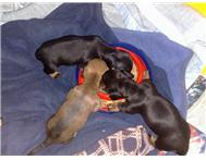 Pure Breed (very) Miniature Dachshund / Sausage dog / Worshond puppies