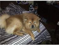pure breed male Chow. free to good home