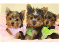 KUSA Tiny Teacup Yorkies
