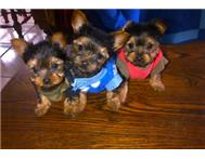 tea cup yorkies for sale