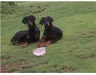 Doberman puppies almost born