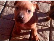 Registered Staffie puppies western cape