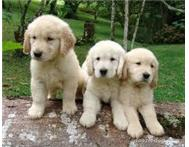 Gorden Retriever Puppy
