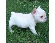 cute french bull