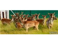 Fallow Deer in Game For Sale Gauteng Randfontein - South Africa