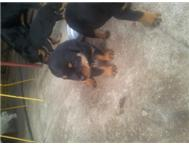 Rotweiler Puppies
