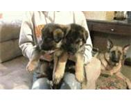2 Babies purebreds German Shepherd puppies.. Welkom