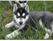 WELL TRAINED SIBERIAN HUSKY PUPPIES Western Cape