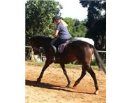 AMAZING TB GELDING LOOKS AND MOVES LIKE A WARMBLOOD