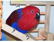 Soloman Eclectus Pair and extra female.