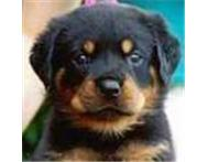 Rottweiler puppies for sale R1700. Big breed strong