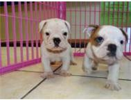 English bulldog puppies Durban North
