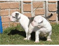 Male & Female Pedigree American Bulldogs in Dogs & Puppies For Sale North West Fochville - South Africa