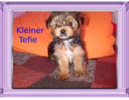 Yorkshire Terrier Pupiies West Rand