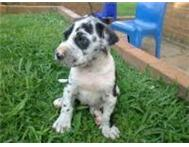 Great Dane puppies for sale Johannesburg