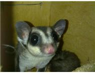 Sugar glider female for sale