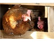 Laying hens for smallholders