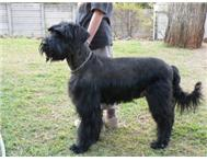 GIANT SCHNAUZER PUPPIES FOR SALE!