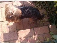Yorkie free 2 good home