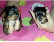 Yorkies for sale @ R 3500.00 ea