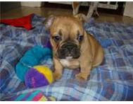 8 weeks Old Frenchie Puppy ready to move into a new home Durban