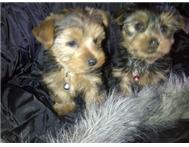 Miniature Yorshire Terrier puppies Standerton