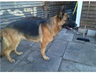 female registered german shepherd for sale