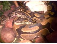 BALL PYTHONS SNAKES MALE AND FEMALE