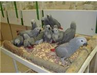 Elite Hand-Fed Baby African Grey Pa... East London