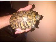 red eared slider turle
