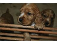 BEAUTIFUL COCKERSPANIEL PUPS FOR SALE!
