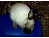 2 beautiful Siamese dwarf rabbits 6 months old