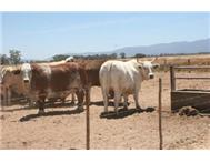Sheep Lambs Boergoats &cattle for s...
