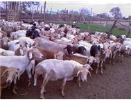 Pedi And Damara Crosses Sheep in Farm Animals For Sale Limpopo Giyani - South Africa