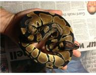 Snakes - Ball Pythons and Amazon Tree Boa s