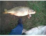 Fresh Water Fish Carp Barber in Fish For Sale North West Hartbeespoort & Dam - South Africa