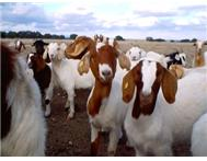 boer goats for sale from shawndevis...