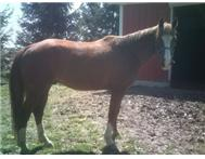 BEAUTIFUL QUARTER HORSE GELDING