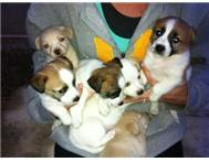 Jack Russell Cross pups for sale!