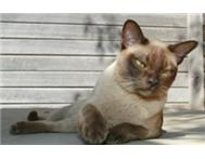MISSING CHOCOLATE BURMESE CAT - RWEARD OFFERED