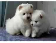 Toy pom pupies
