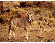 Golden Oryx in Game For Sale Limpopo Rust de Winter - South Africa