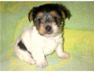 BIEWER TERRIER PUPPIES
