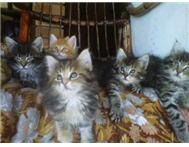 Maine Coon Kittens! Cape Town
